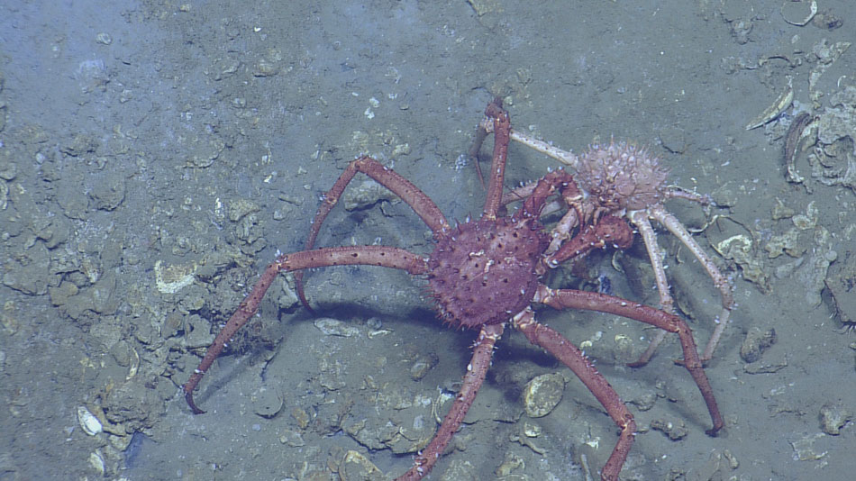 <div style='color:#000000;'><br /><br /><h2>Two spider crabs locked in combat in the Atwater Valley.</h2>Photo&nbsp;courtesy of&nbsp;Dr. Ian MacDonald (ECOGIG).</div>