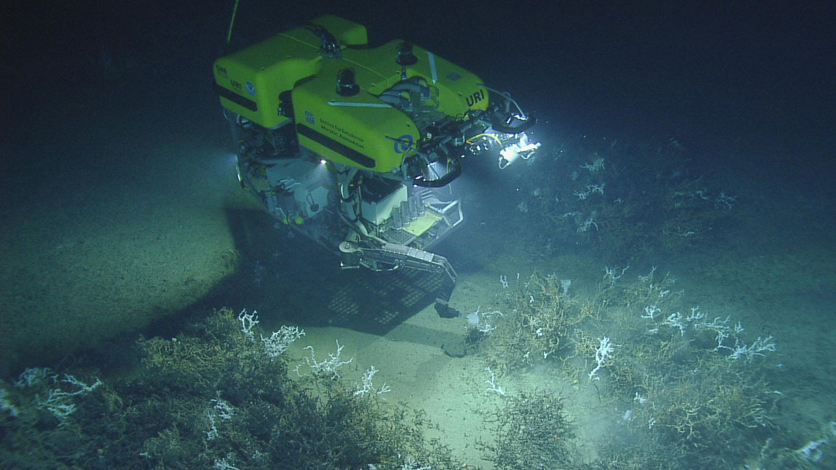 <div style='color:#000000;'><br /><br /><h2>Front view of the Remotely Operated Vehicle (ROV) Hercules collecting a glass sponge from a thicket of Lophelia pertusa coral in the Northern Gulf of Mexico.  </h2>Photo courtesy of Ocean Exploration Trust and ECOGIG</div>
